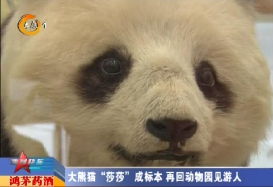"""大熊猫""""莎莎""""成标本 再回动物园见游人"""