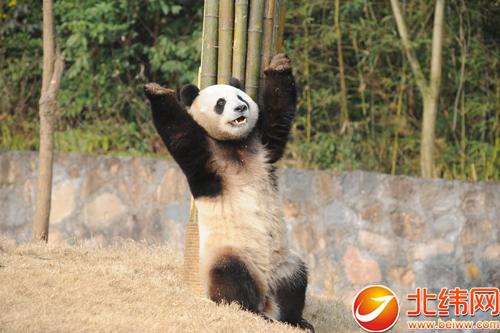 """雅安籍大熊猫""""园欣""""""""华妮""""即将赴韩"""