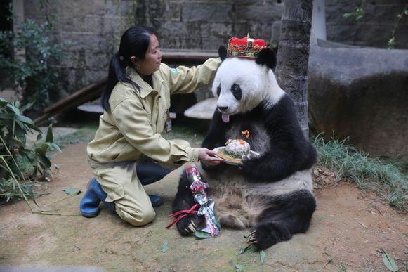 """福州大熊猫""""巴斯""""喜迎35岁生日"""