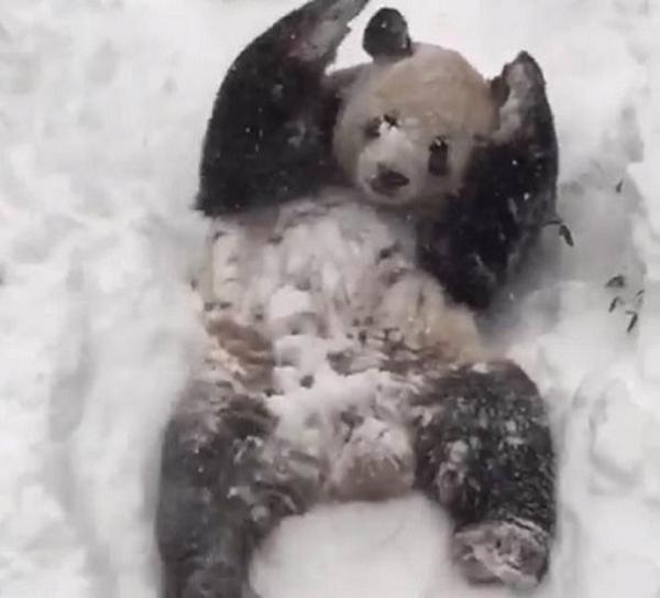 大熊猫玩雪视频走红 美国男子跟风穿熊猫服玩雪