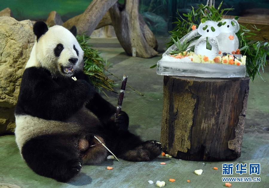 """大熊猫""""团团""""""""圆圆""""过11岁生日"""