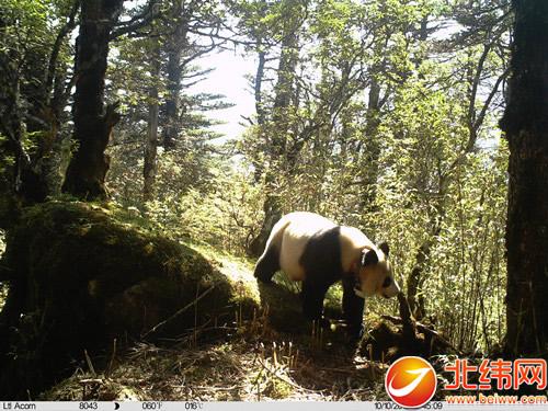 中国救护大熊猫易地放归试验取得成功
