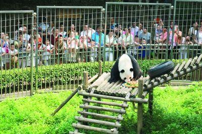 """汶川大地震后从四川来汉 10岁大熊猫伟伟迎""""而立"""""""