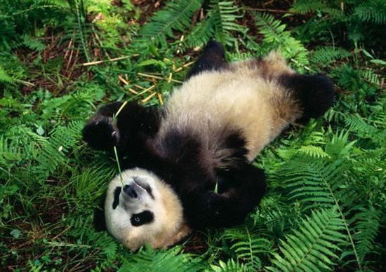 科学家发现大熊猫懒惰的原因:甲状腺不活跃