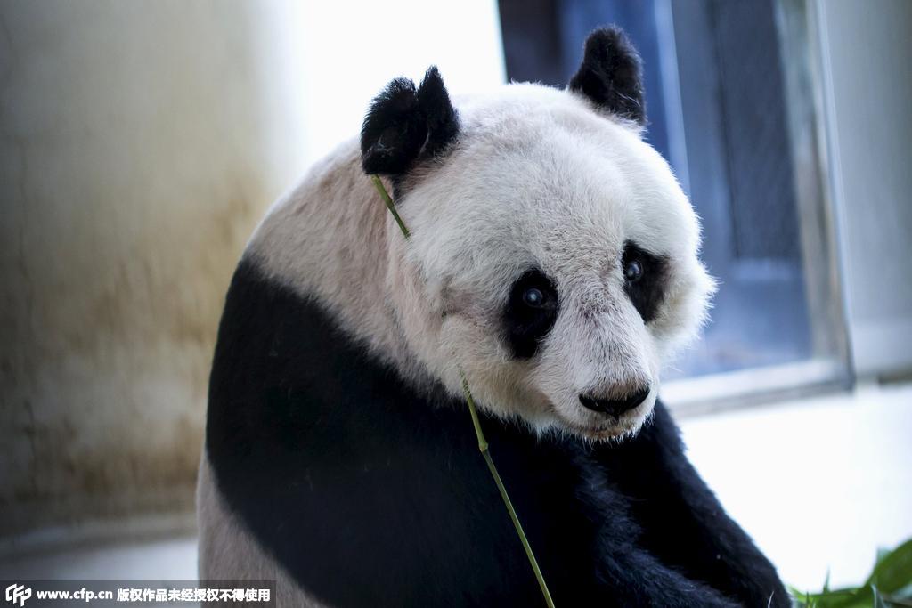 香港36岁大熊猫佳佳或成全球最长寿大熊猫