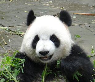 您喜欢眼镜哥——大熊猫吗