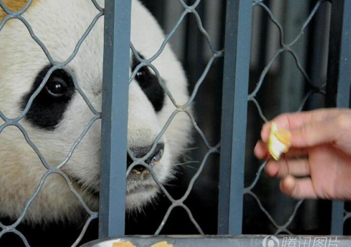 """大熊猫""""宝宝""""回国 入乡随俗吃窝窝头"""