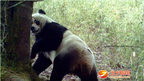 喇叭河:红外触发相机拍到大熊猫等珍稀动物