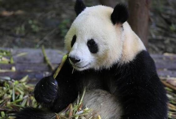 """大熊猫""""和兴""""""""毛二""""将旅居丹麦 入住1.5亿豪宅"""