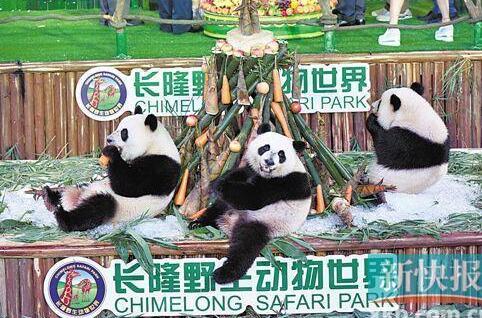 """长隆大熊猫三胞胎3岁生日会 """"爱你一起萌帅酷"""""""