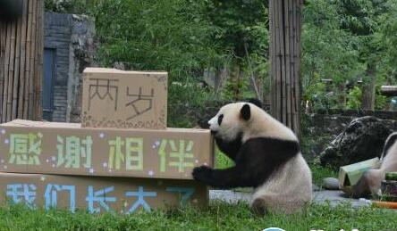 """网红大熊猫双胞胎""""冰冰""""""""青青""""两岁啦!"""