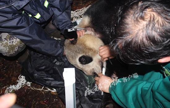 四川放归大熊猫张想被羊骨头诱捕 野外4年生活很滋润