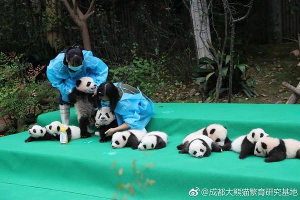 超萌!2017新生大熊猫齐亮相 11仔其中有3对双胞胎