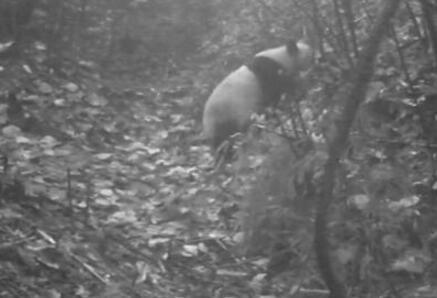 四川瓦屋山同时拍到野生大熊猫和扭角羚 属全国首次