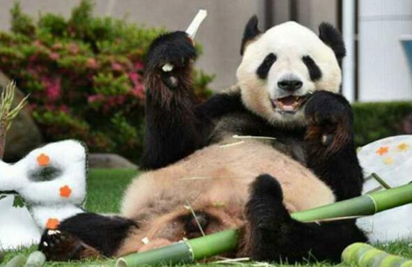 中国旅日大熊猫获日本动物大奖最高奖