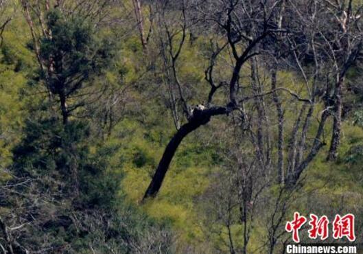 四川广元再现野生大熊猫:懒洋洋在树上晒太阳
