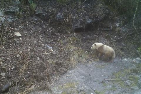 时隔26年 陕西长青保护区再次拍摄到野生棕色大熊猫