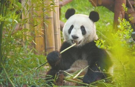 """近30名专家1296小时 抢救网红大熊猫""""小灰灰"""""""
