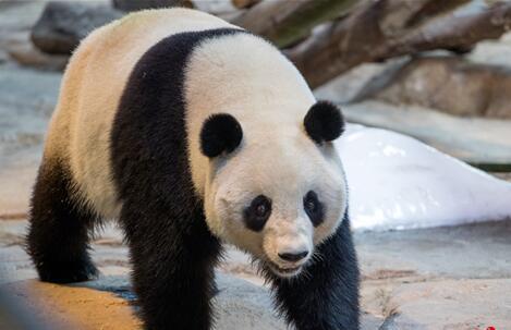广州土生土长大熊猫有望升级当妈妈