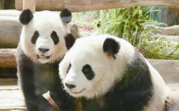 """厦门""""滚滚""""大熊猫兄弟闽南昵称""""古锥""""""""古意"""""""