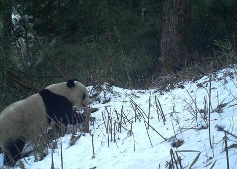 """甘肃白水江自然保护区4对野生大熊猫母子""""抢镜"""""""