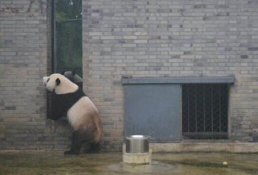 """中国大熊猫保护研究中心声明:大熊猫""""伟伟""""返回四川 开始适应新环境"""