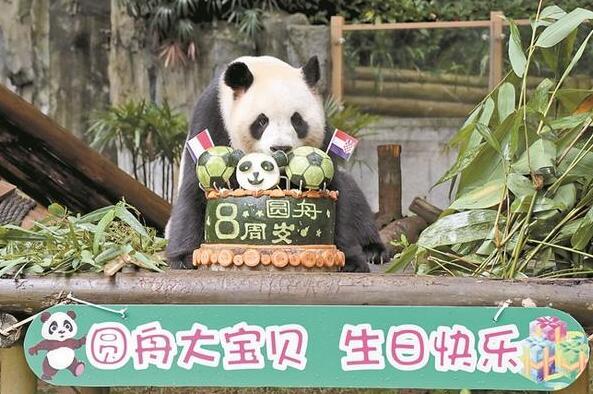 """大熊猫""""圆舟""""8周岁啦"""