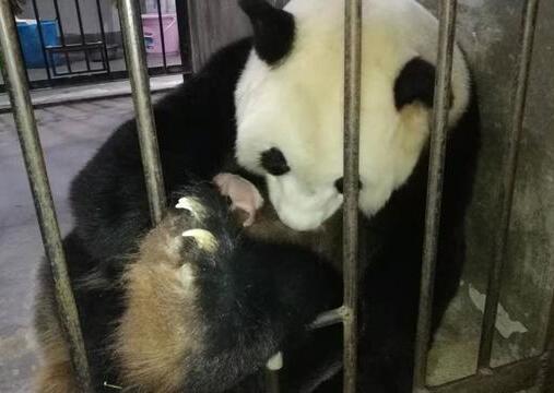 """16岁大熊猫""""楼生""""诞下雌性幼仔"""